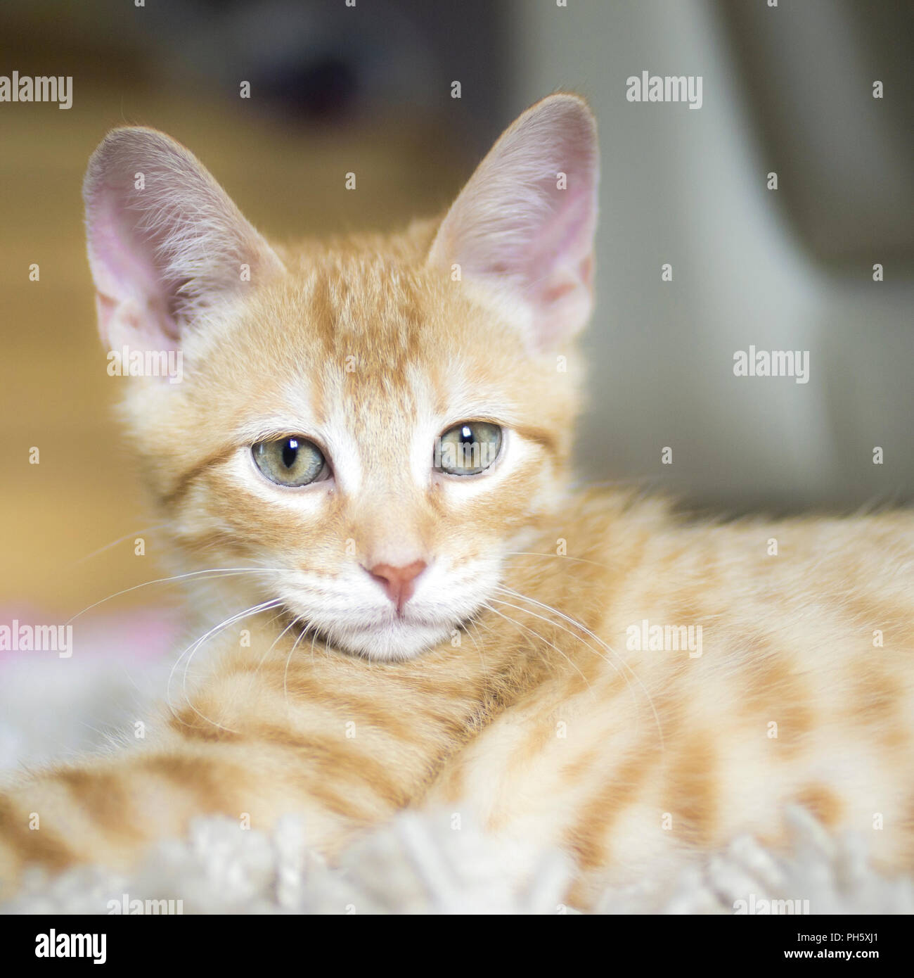 Red And White Kitten Looking At The Camera Super Cute Cat Baby
