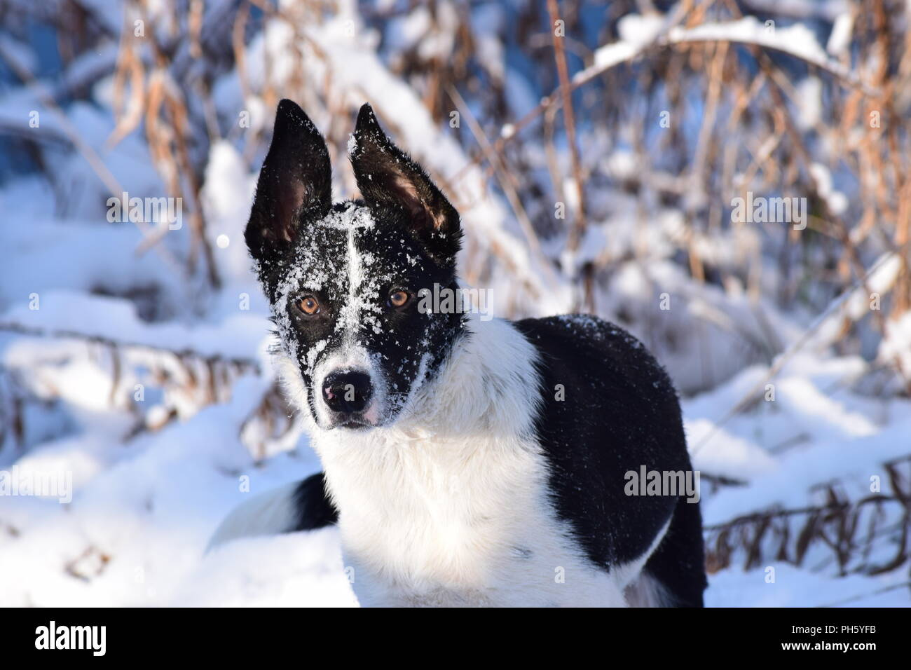 Border Collie in snow portrait - Stock Image