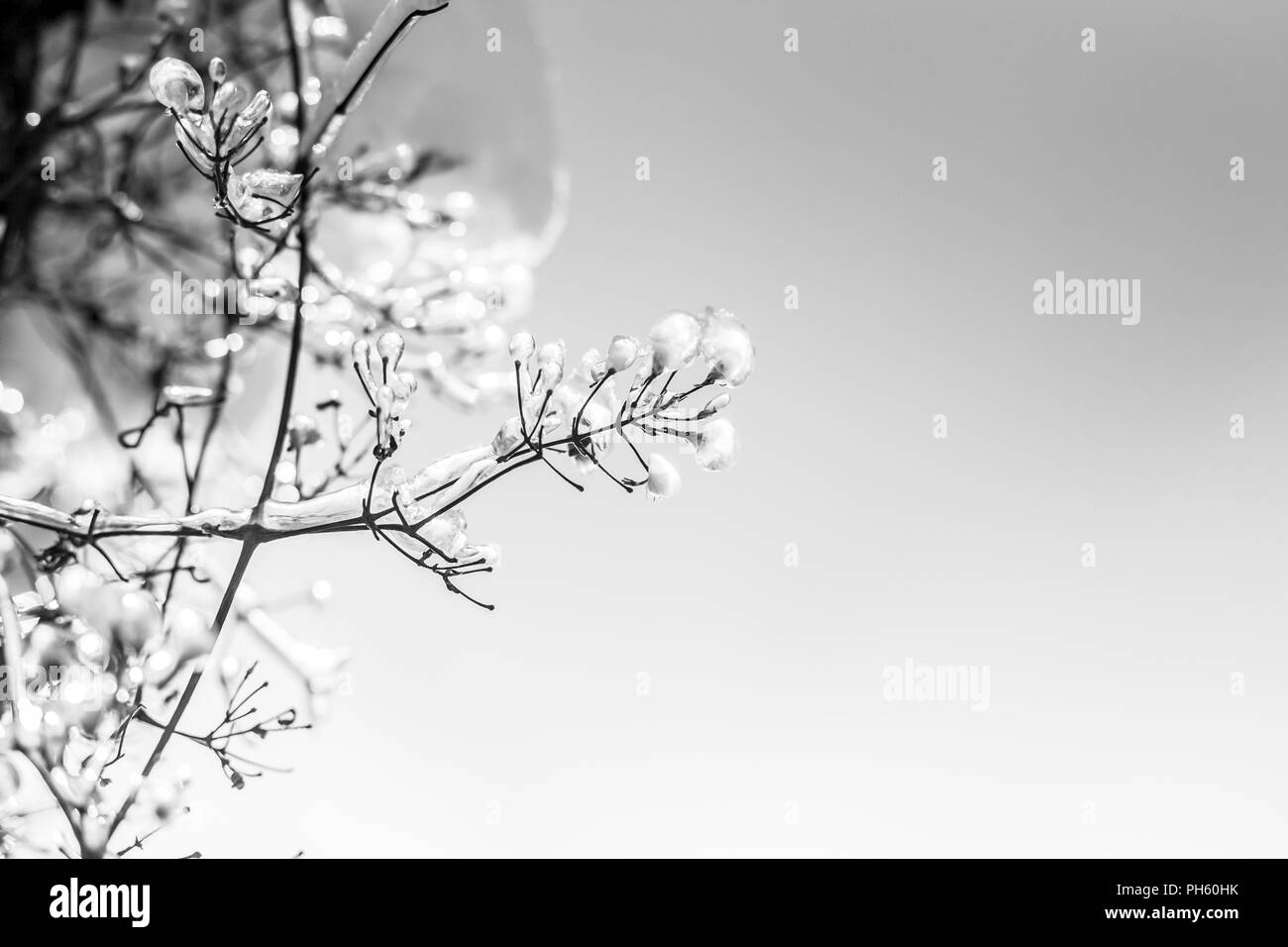 Frozen branches of trees in sunny day. Natural, winter background - Stock Image
