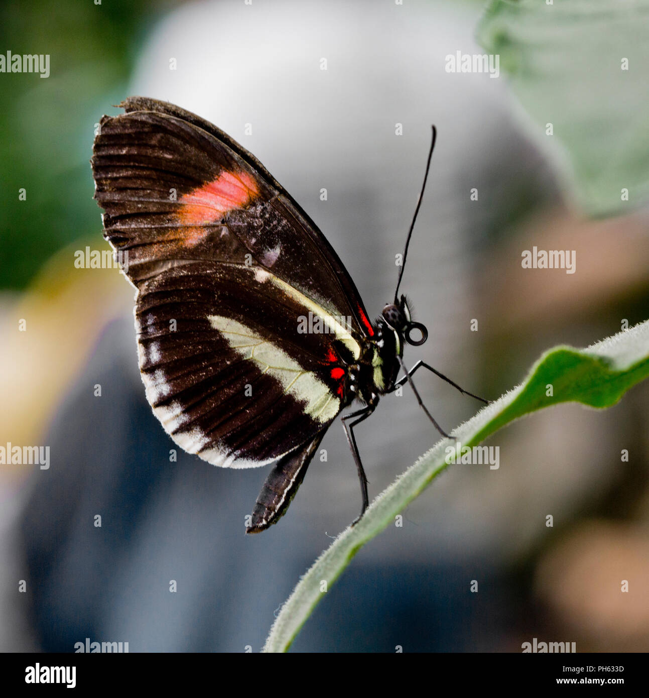 Small Postman butterfly, Heliconius erato from Central America and tropical South America - Stock Image