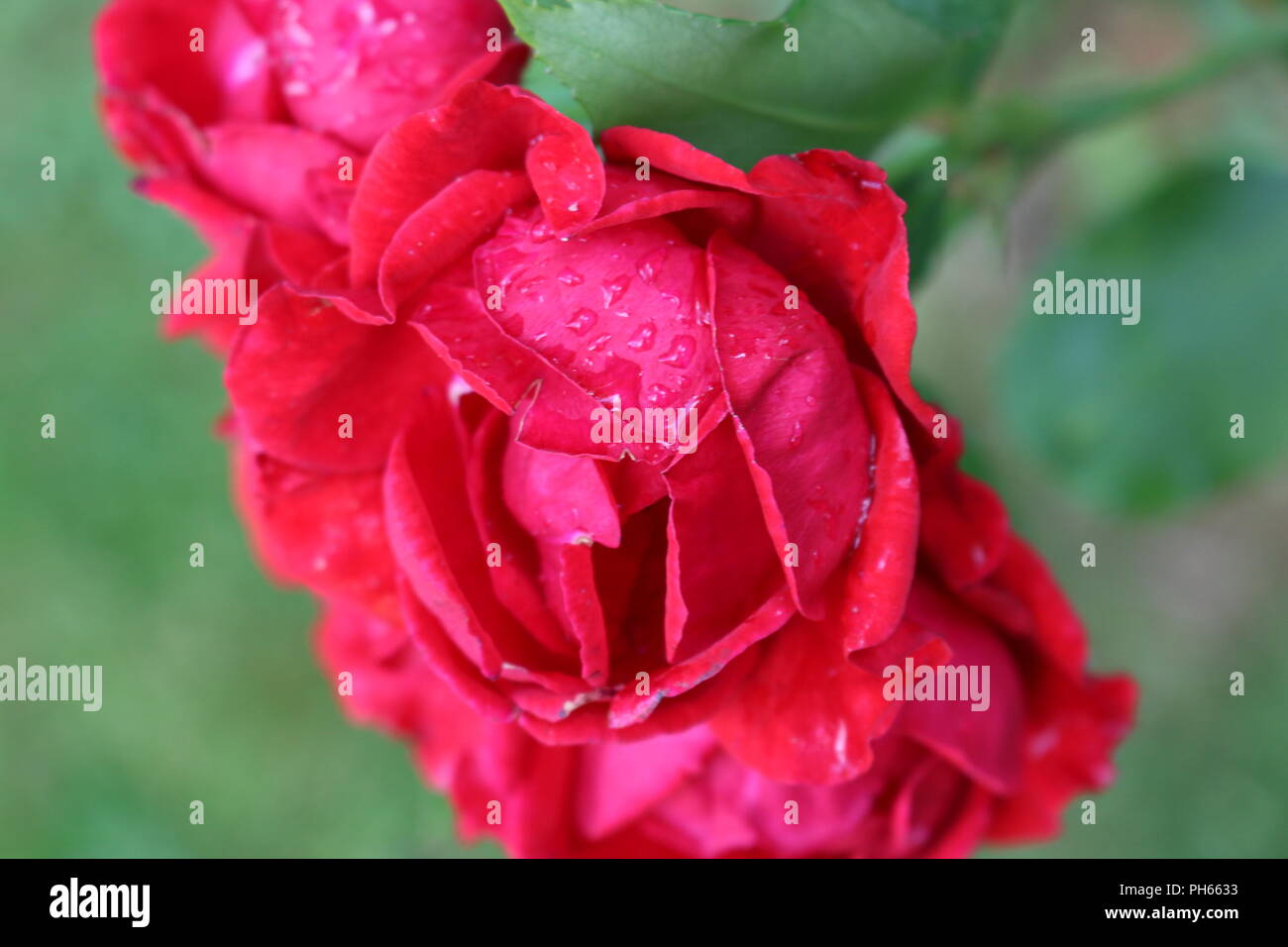 Raindrops on vibrant red roses - Stock Image
