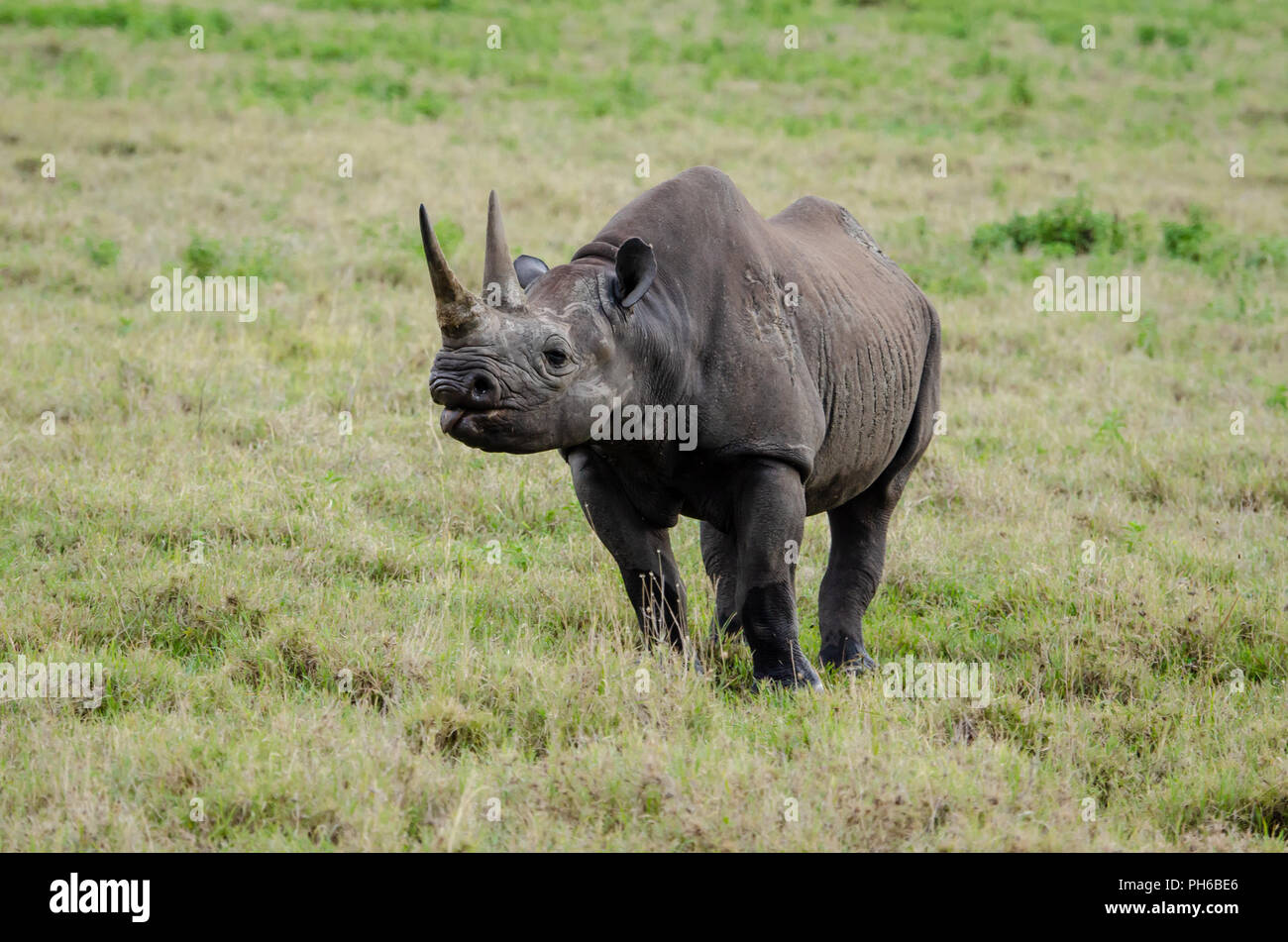 Black rhinoceros (Diceros bicornis) in Ngorongoro Crater in Tanzania - Stock Image