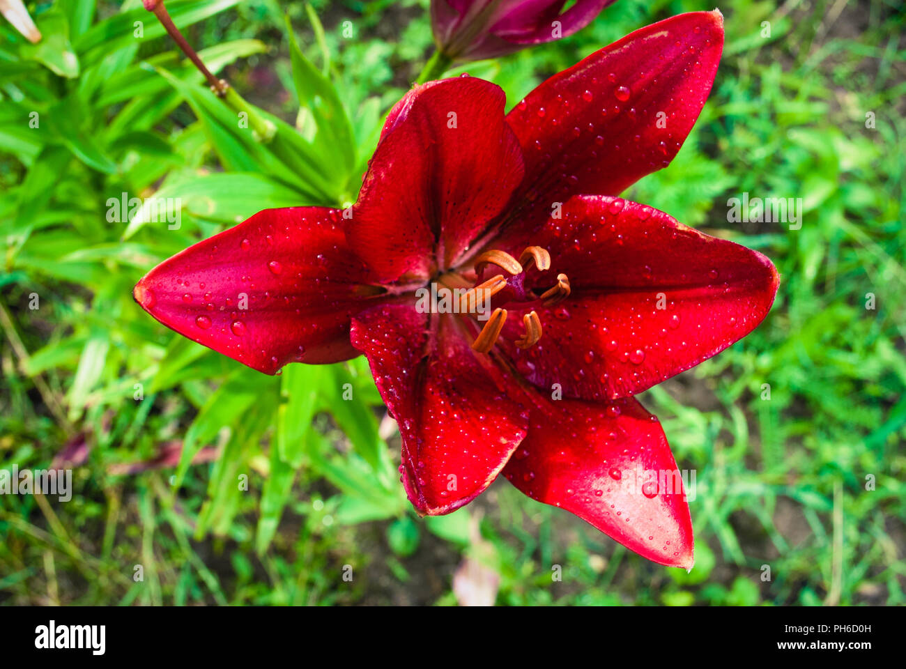 Beautiful flowers of red lilies in the garden rain drops on lily beautiful flowers of red lilies in the garden rain drops on lily flower izmirmasajfo