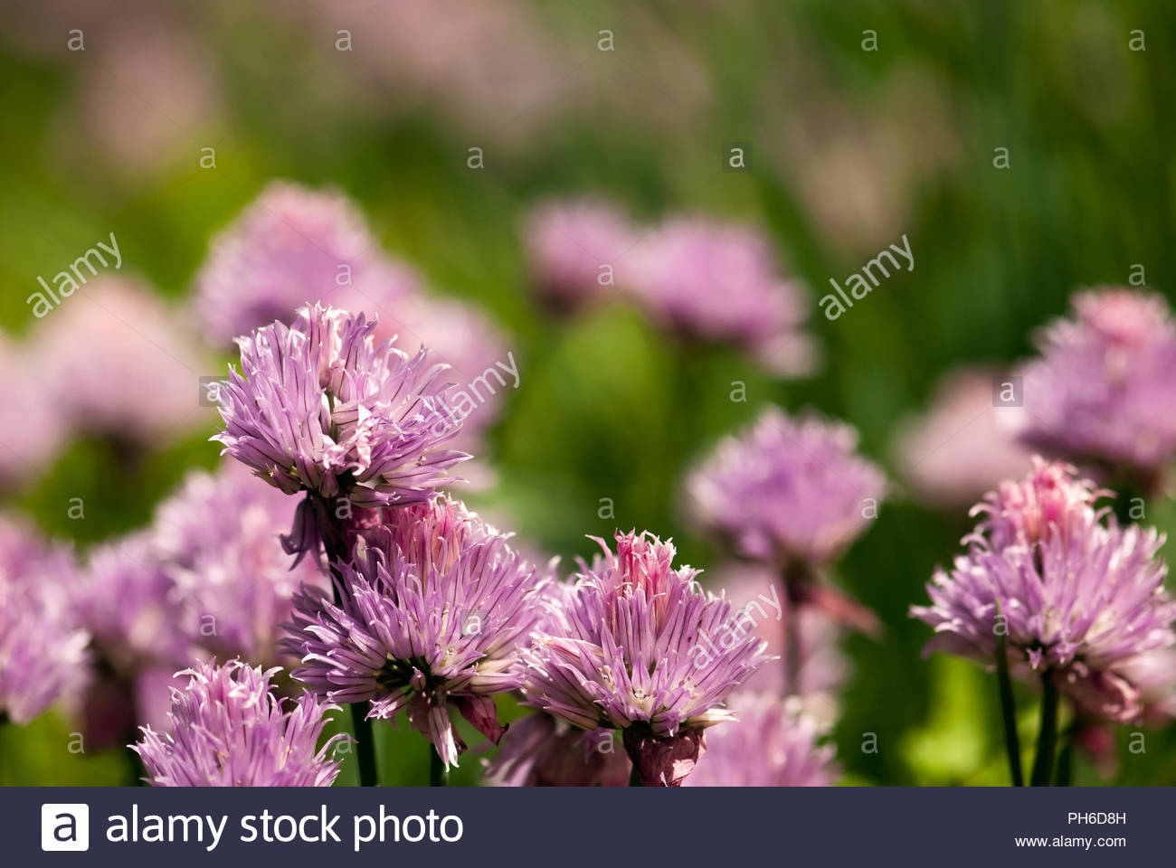 Purple Chive Flowers Bloom In A Spring Herb Garden Stock Photo