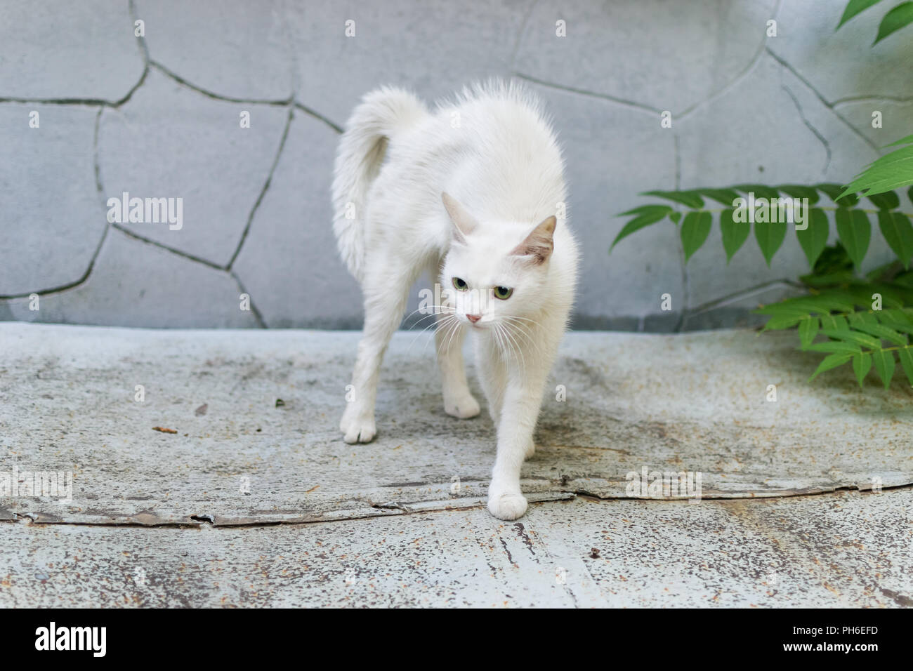 A white stray cat feels threatened and makes a hunchback. Cat rounded defending. - Stock Image