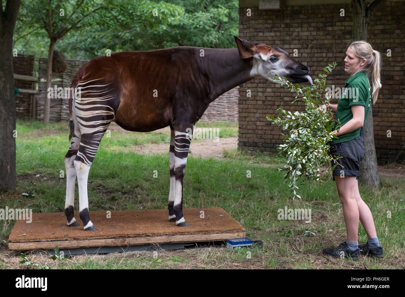 London, UK. 23rd August 2018. Annual animals weigh-in and measure to record vital statistics at ZSL London Zoo. Credit: Guy Corbishley Stock Photo