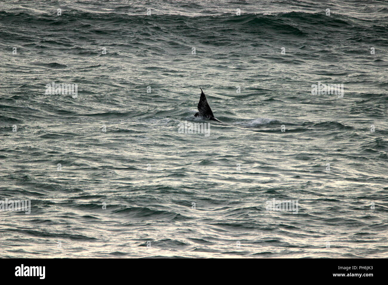 Southern right whale - Stock Image