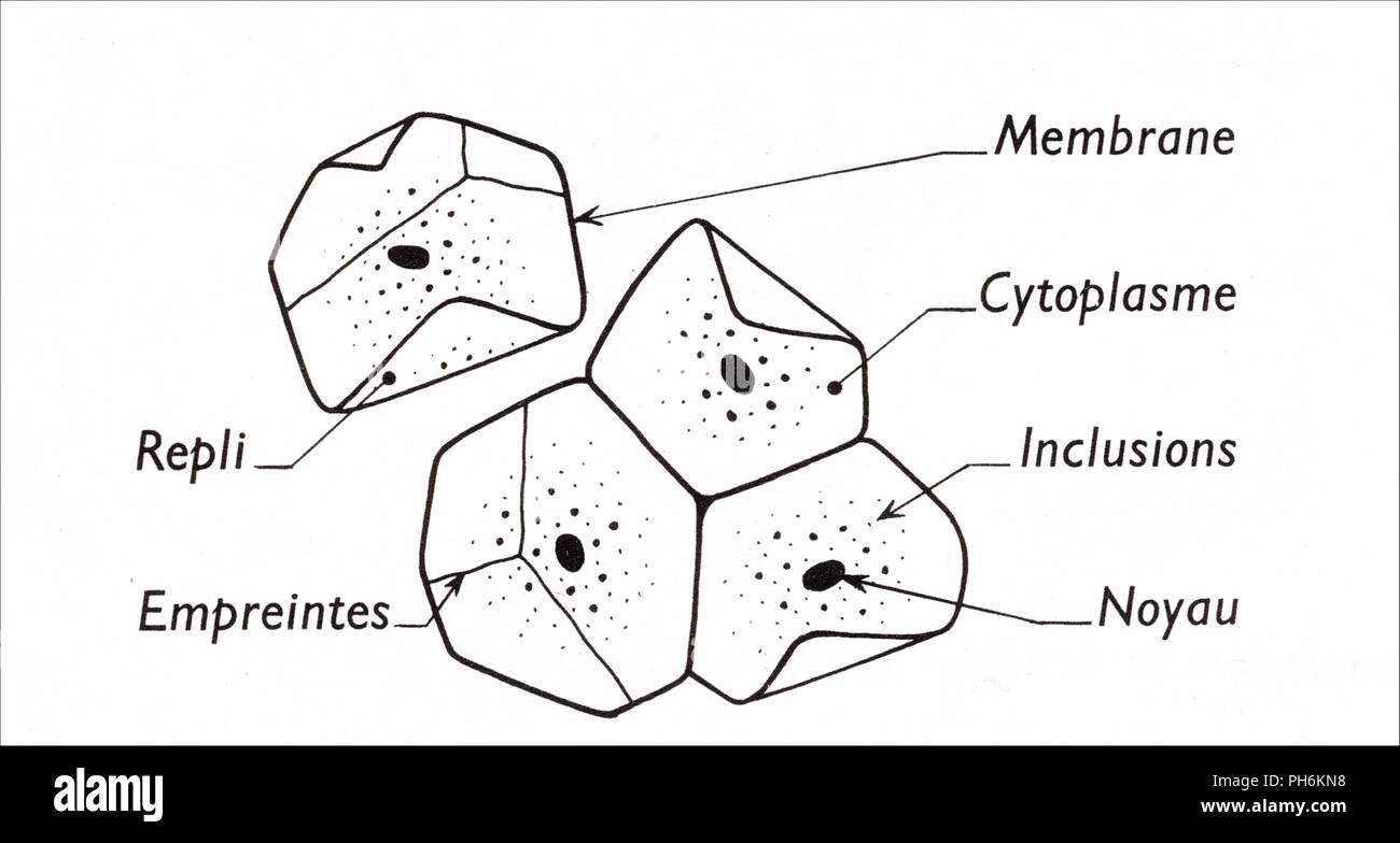 cellules de l'épithélium buccal - Stock Image