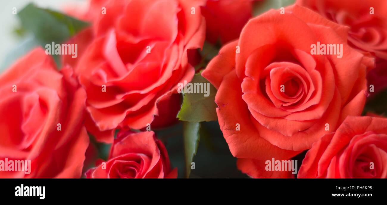 Kerala rose flowers stock photos kerala rose flowers stock images close up of beautiful red roses stock image izmirmasajfo