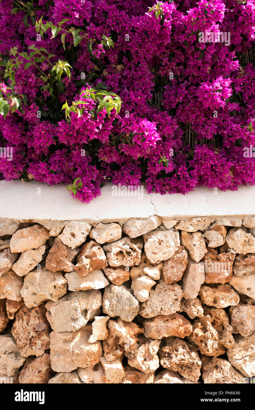 cropped view of traditional menorcan dry stoned wall with a cemented white top and a blooming bougainvillea resting on its surface - Stock Image