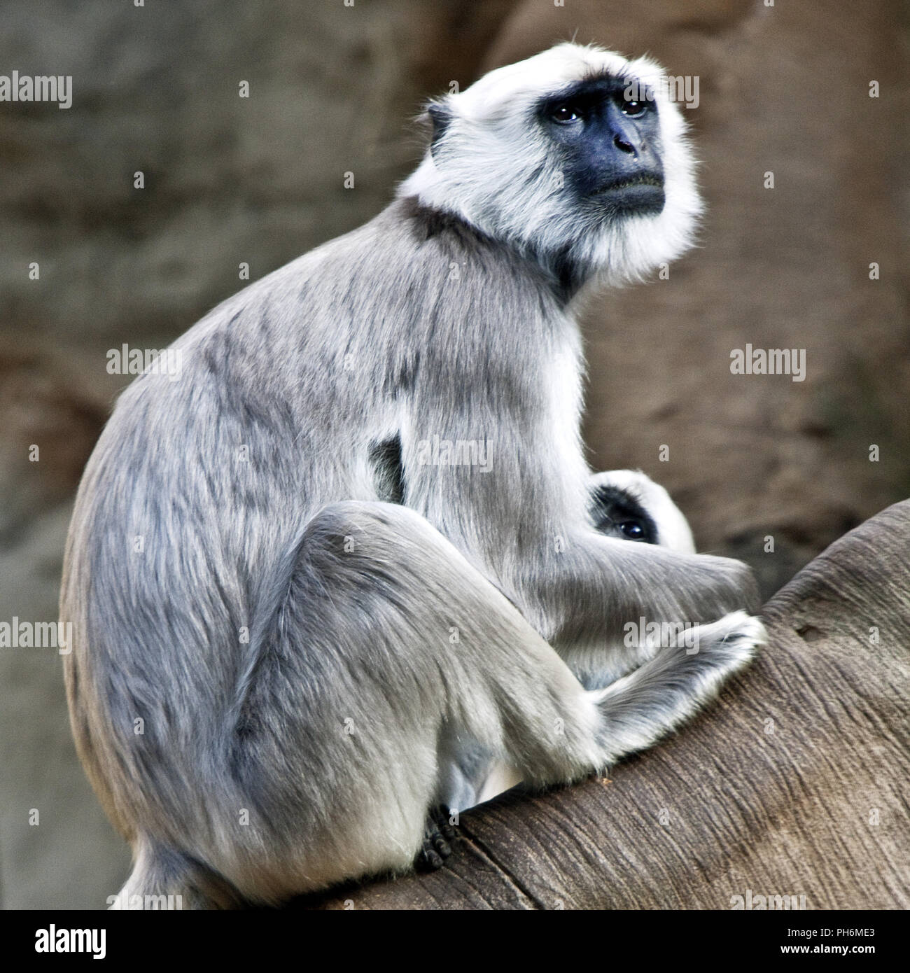 Hanuman langurs, Zoo Zoom, Gelsenkirchen, Germany - Stock Image