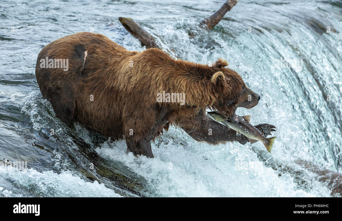 Male brown bear with mouth open standing in waterfall missing catching a jumping sockeye salmon. - Stock Image