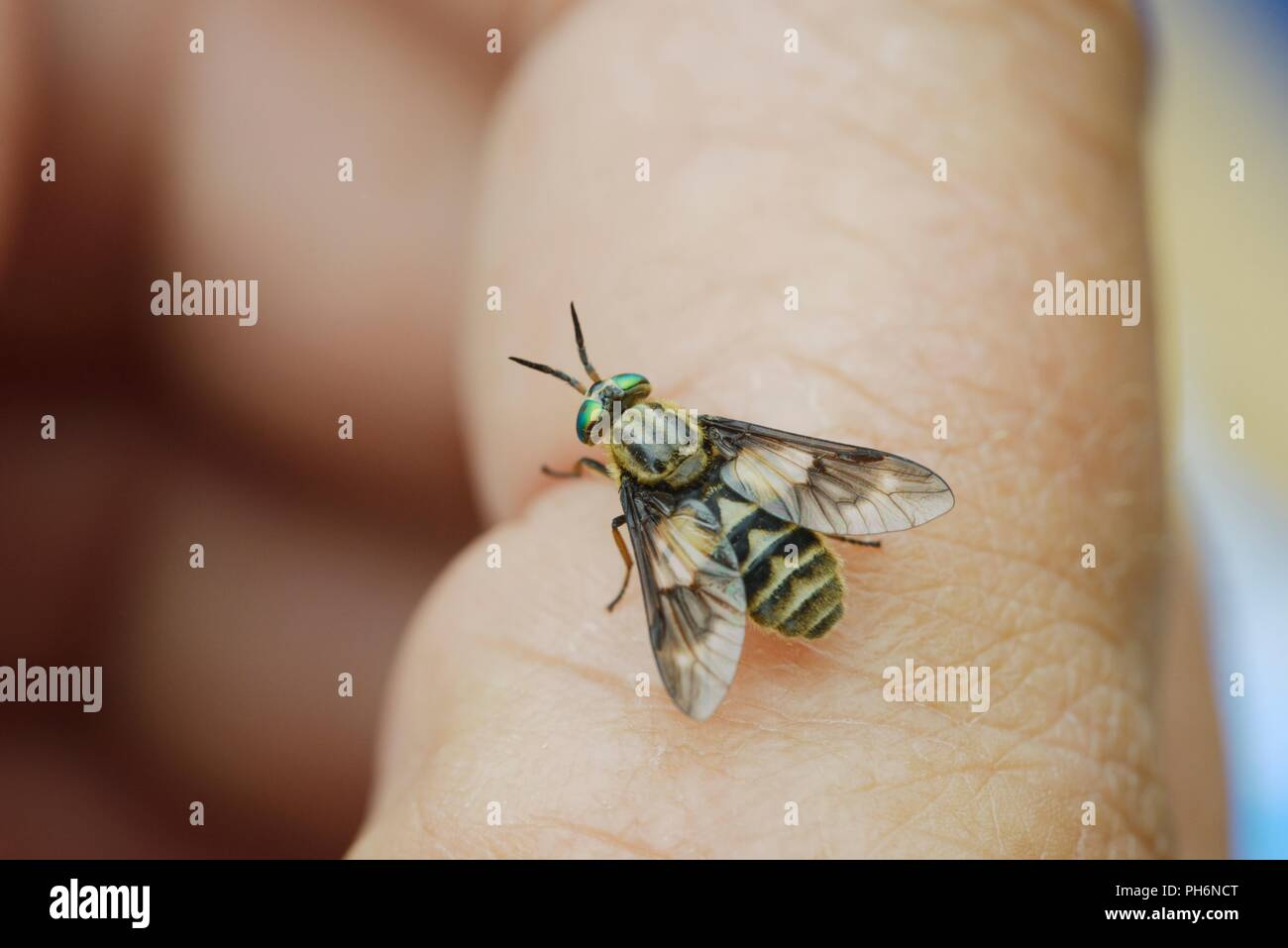 Biting Flies Stock Photos & Biting Flies Stock Images - Alamy