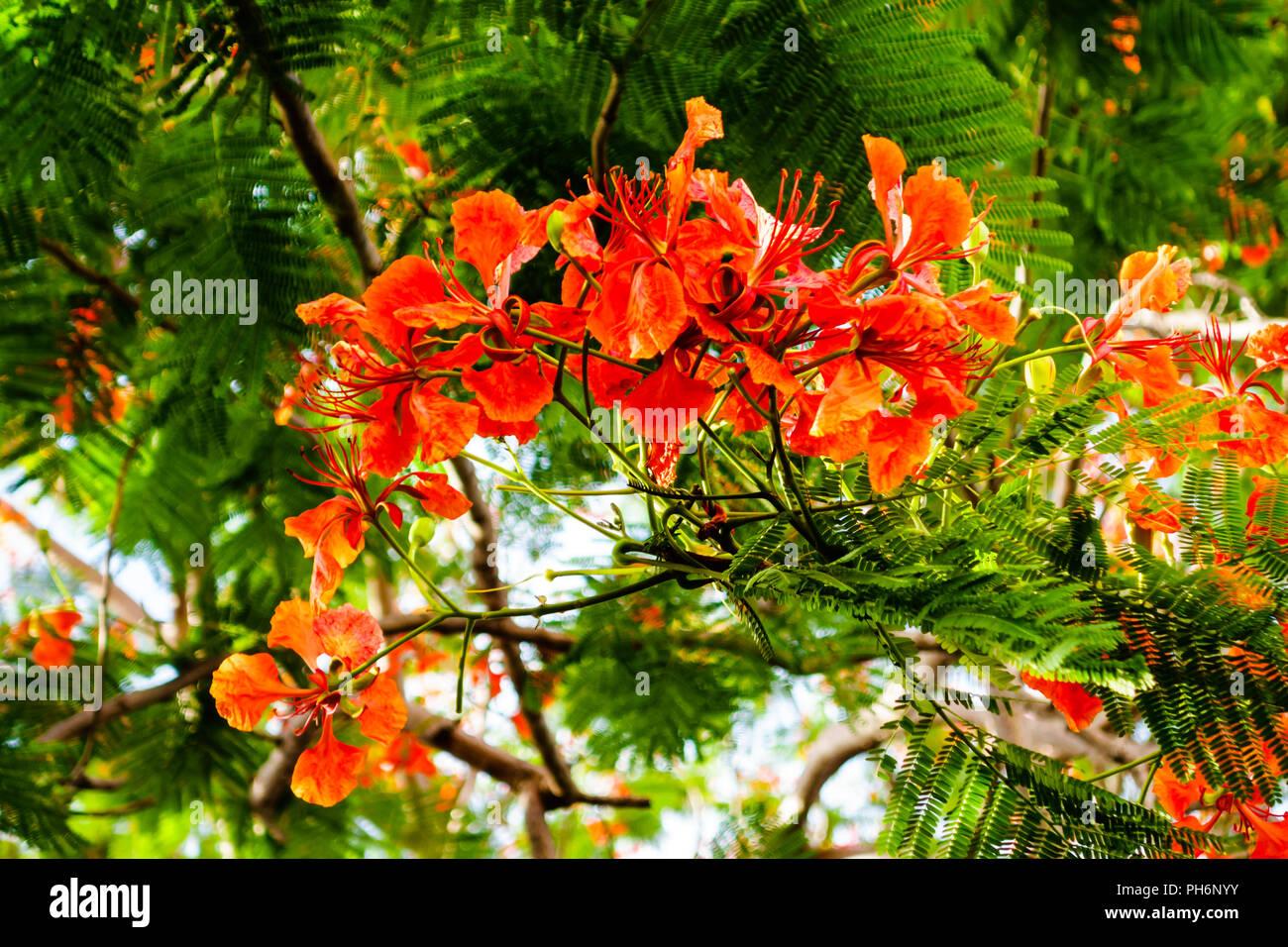 Flamboyant - Stock Image