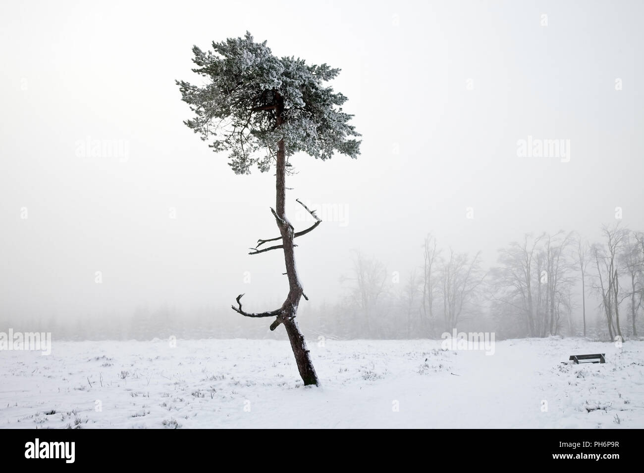 Scotch pine in fog on Kahler Asten in winter - Stock Image
