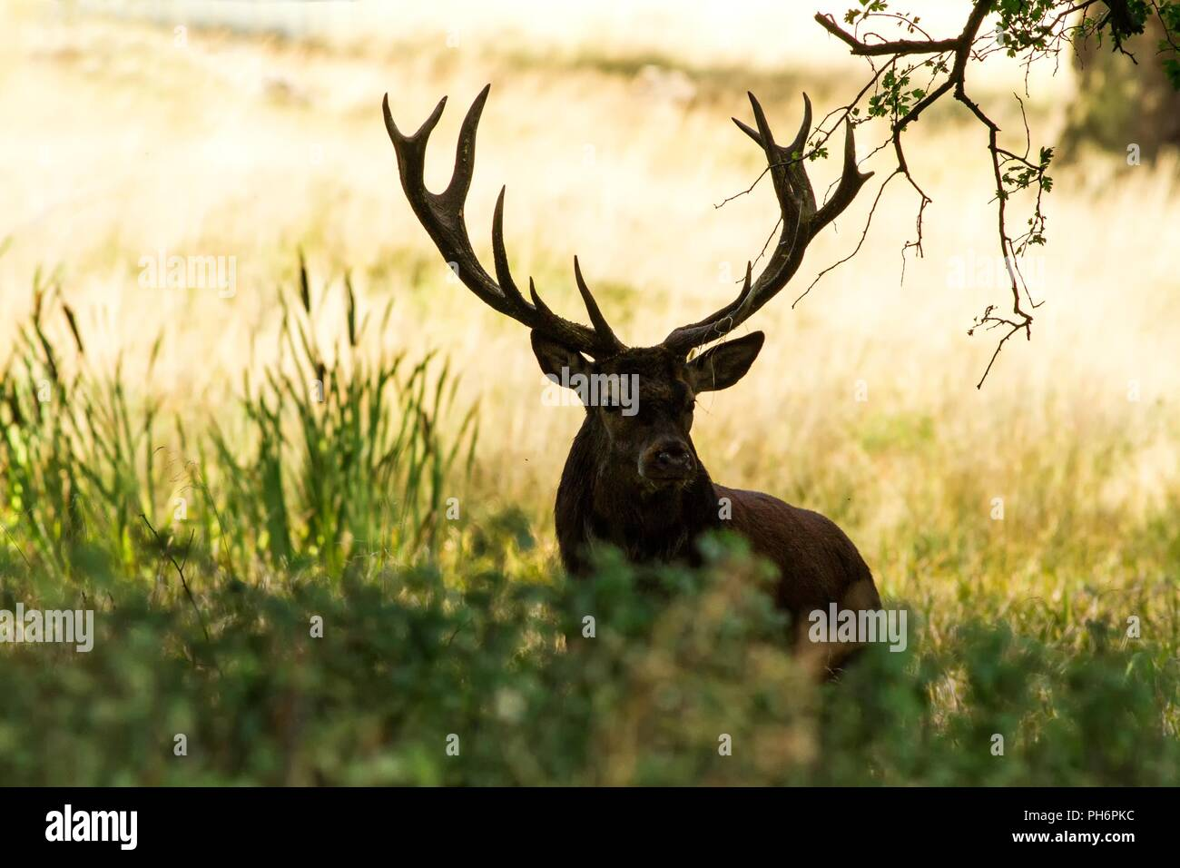 Majestic powerful adult red deer stag outside autumn forest in Dyrehaven, Denmark. Mating season, deer in natural forest habitat, big beautiful animal - Stock Image
