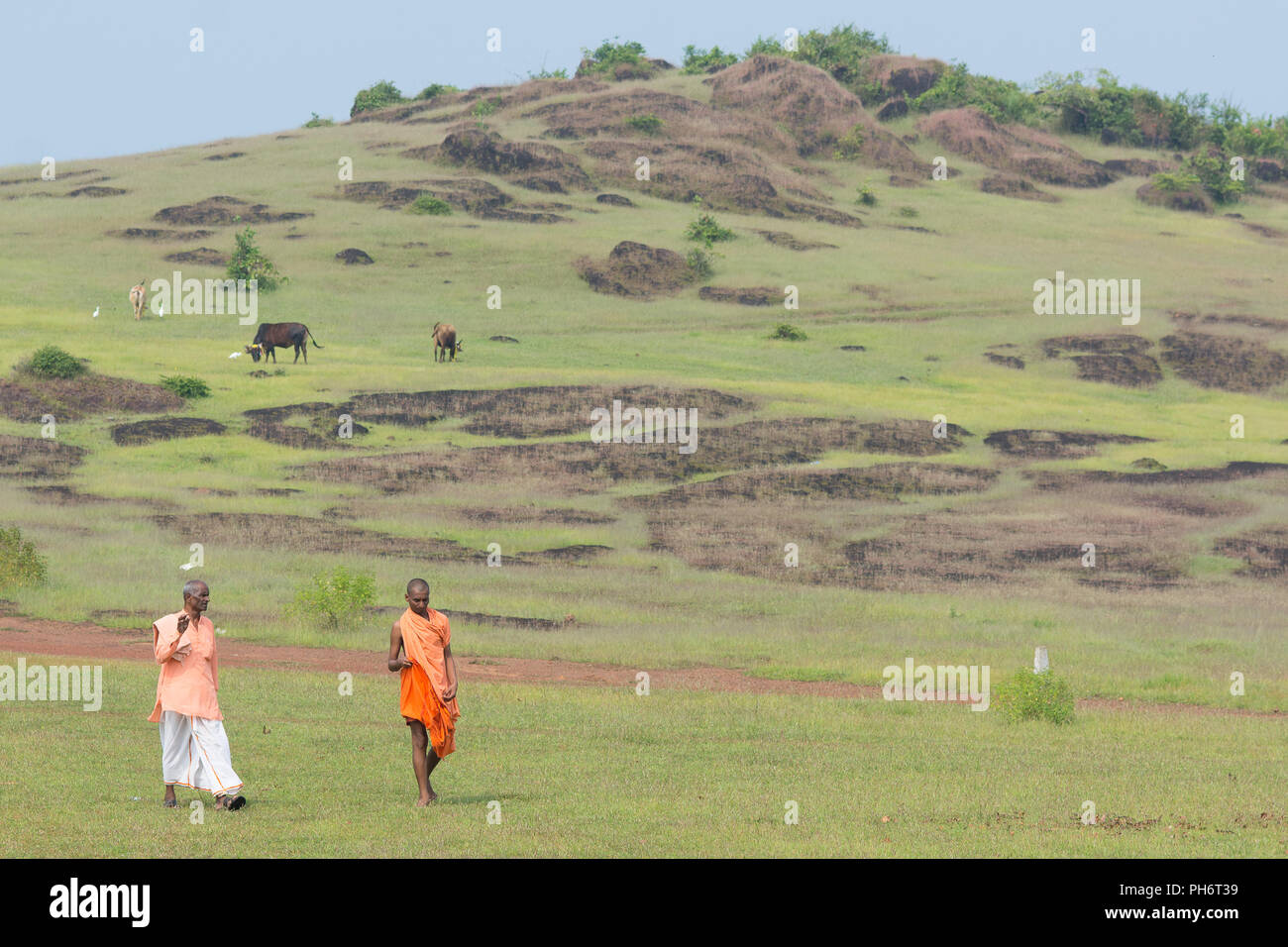 Goa, India - July 8, 2018 - Two hinduist priests walking through hills in Goa passing holy cows - Stock Image