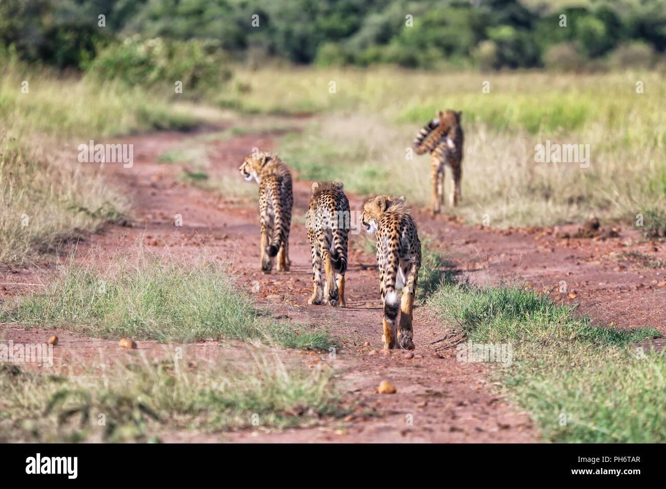 a cheetah family hunting at masai mara national park kenya - Stock Image