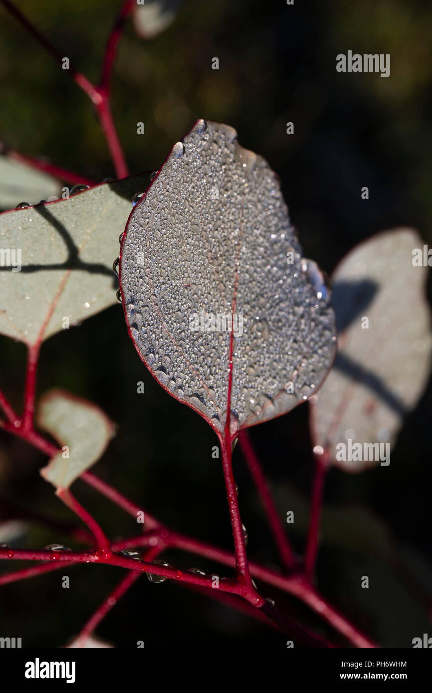 Dew drops on gum leaves - Stock Image
