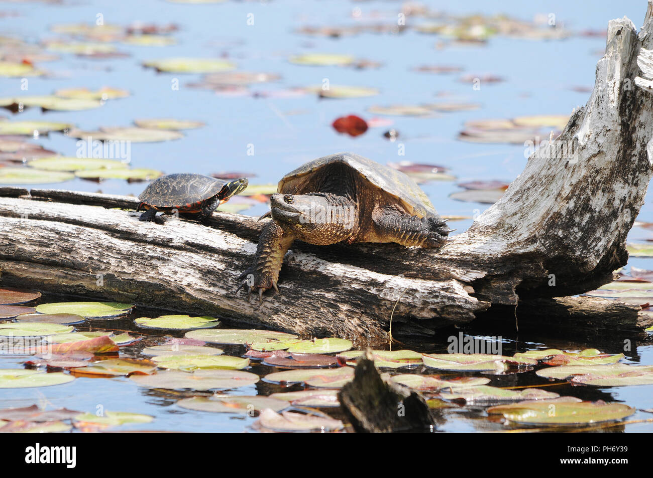 Painted turtle with a snapping turtle on a water log enjoying its surrounding. Stock Photo