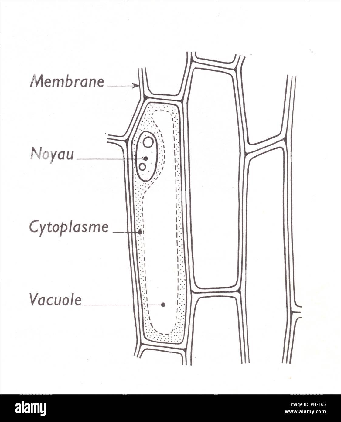 cellules épidermiques d'un bulbe d'oignon - stock image