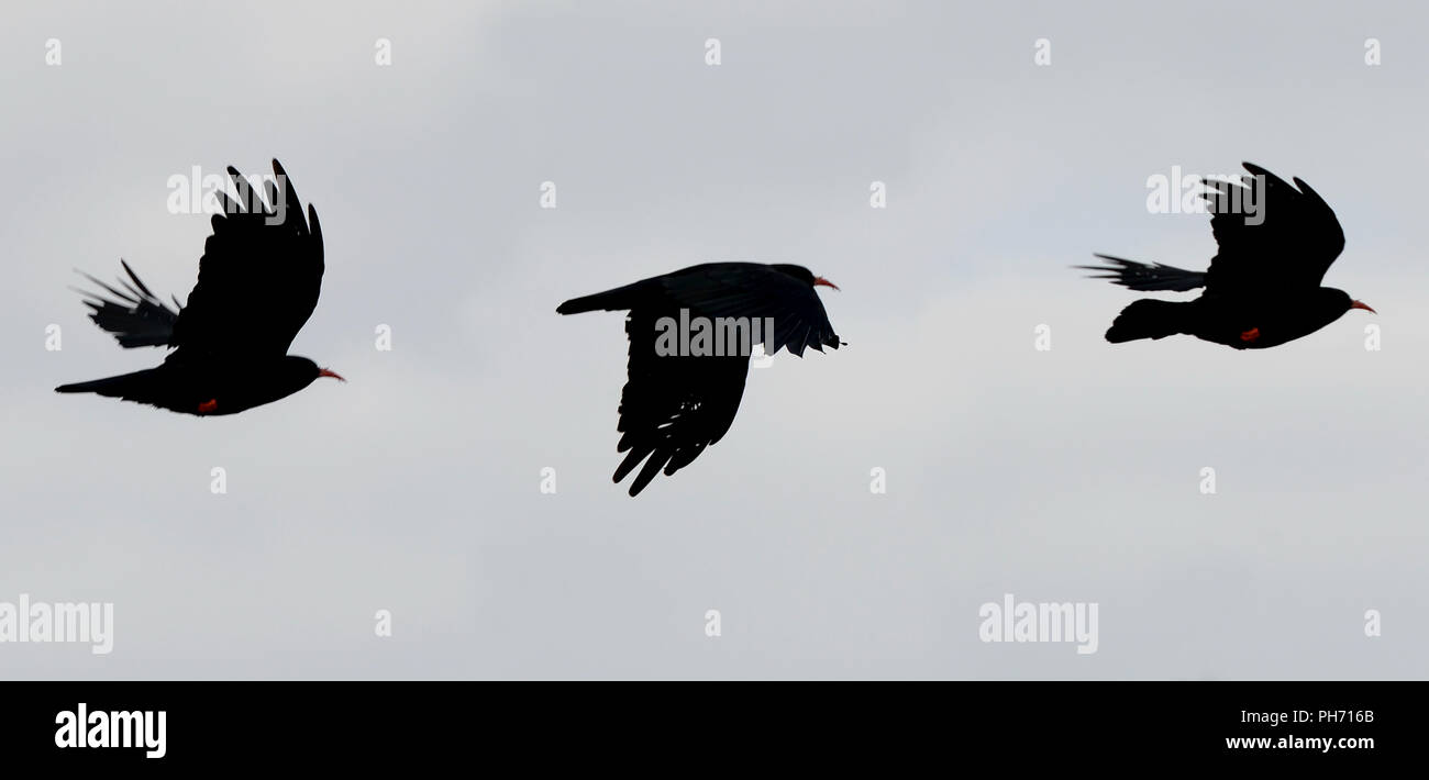 Chough in flight  with red beak and legs visible and fingered wings. A multiple exposure of 3 images taken in quick succession. - Stock Image