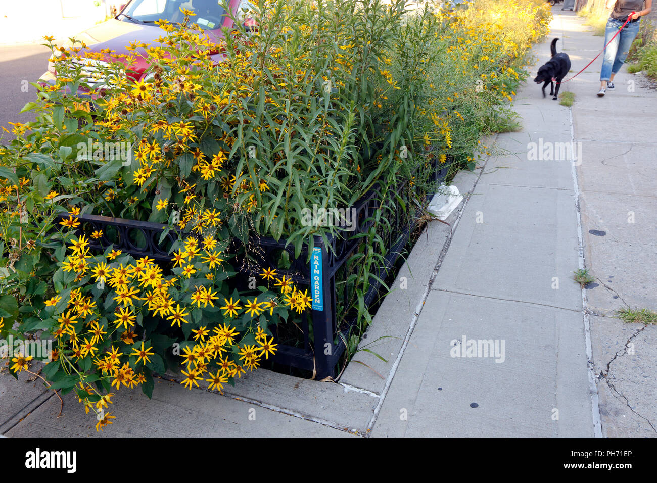 a-nyc-rain-garden-filled-with-flowers-rain-gardens-are-designed-to-interdict-and-divert-the-flow-of-stormwater-away-from-sewer-systems-and-waterways-PH71EP.jpg