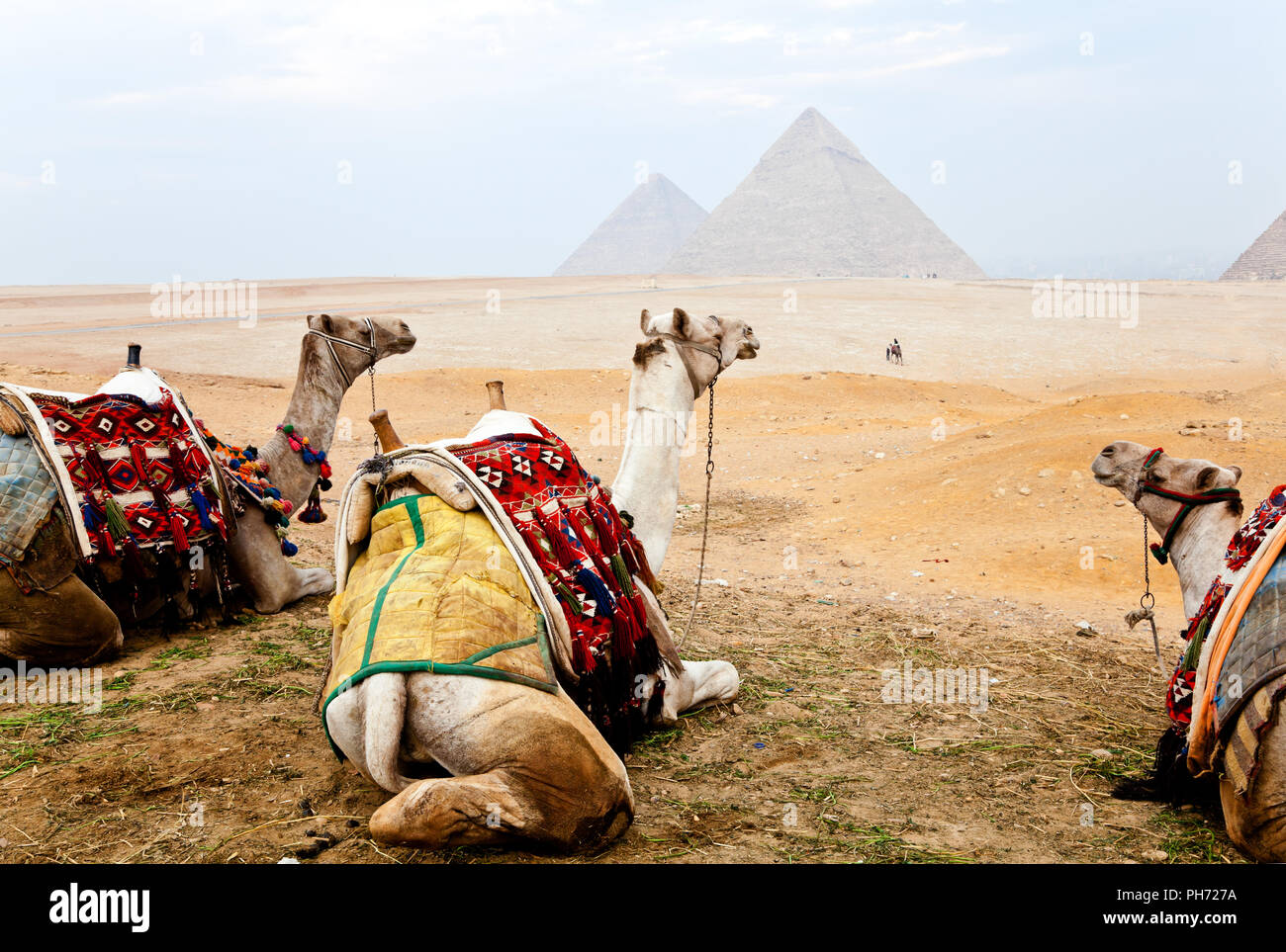 Three camels and the pyramids of giza - Stock Image