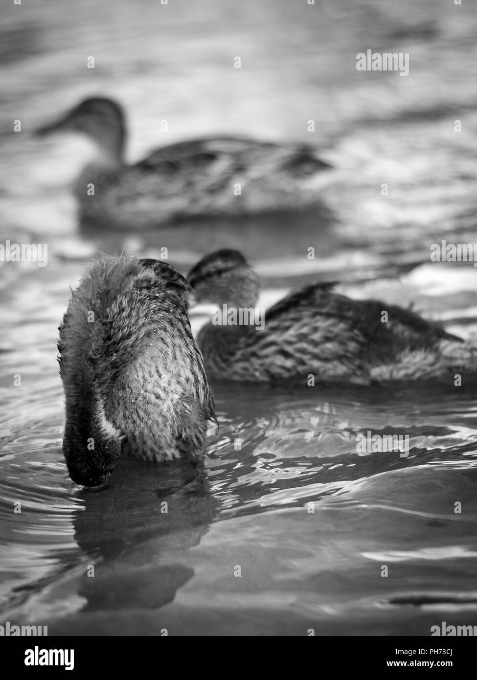 A duck washing itself in front of two other ducks by the river Klarälven in Forshaga, Värmland, Sweden. - Stock Image