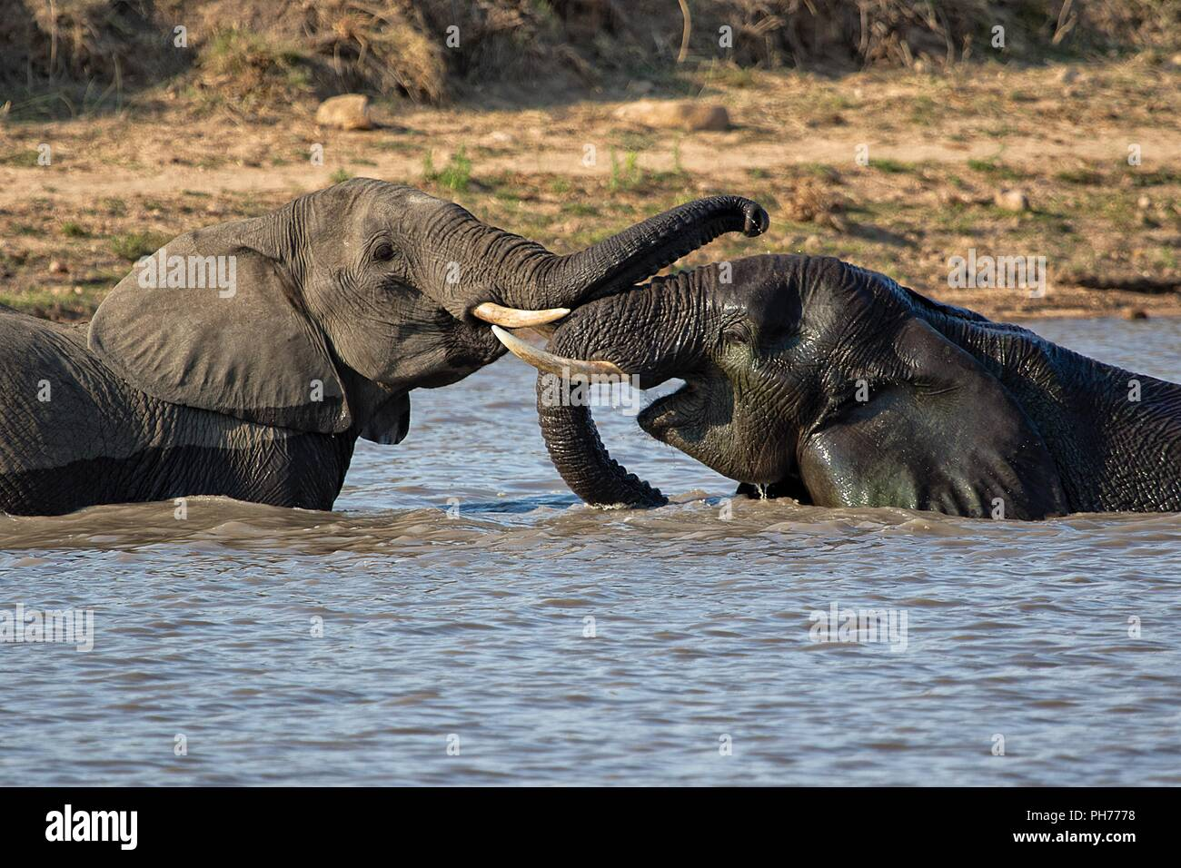 elephants playing in a lake at kruger national park - Stock Image
