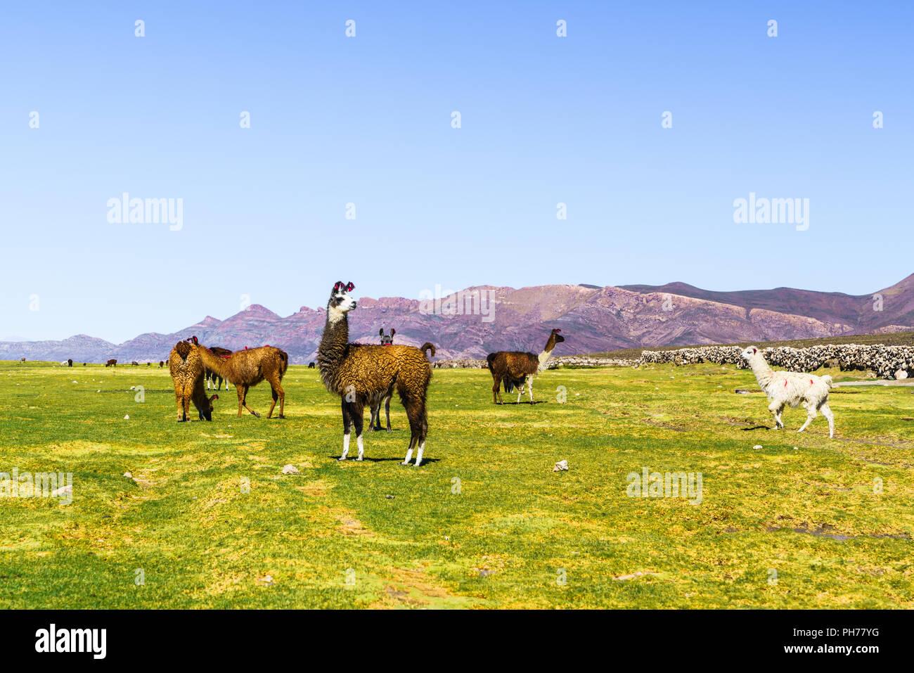 Flock of Llamas grazing at Coqueza Village - Stock Image