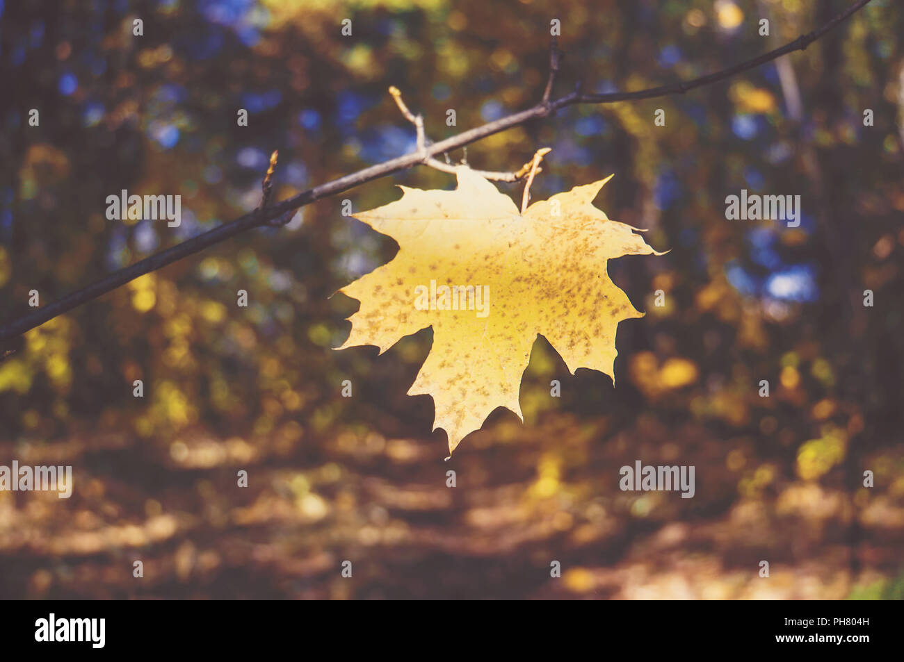 Yellow maple leaf on a background of trees in the Park. The autumn theme. atmospheric tinted photo Stock Photo