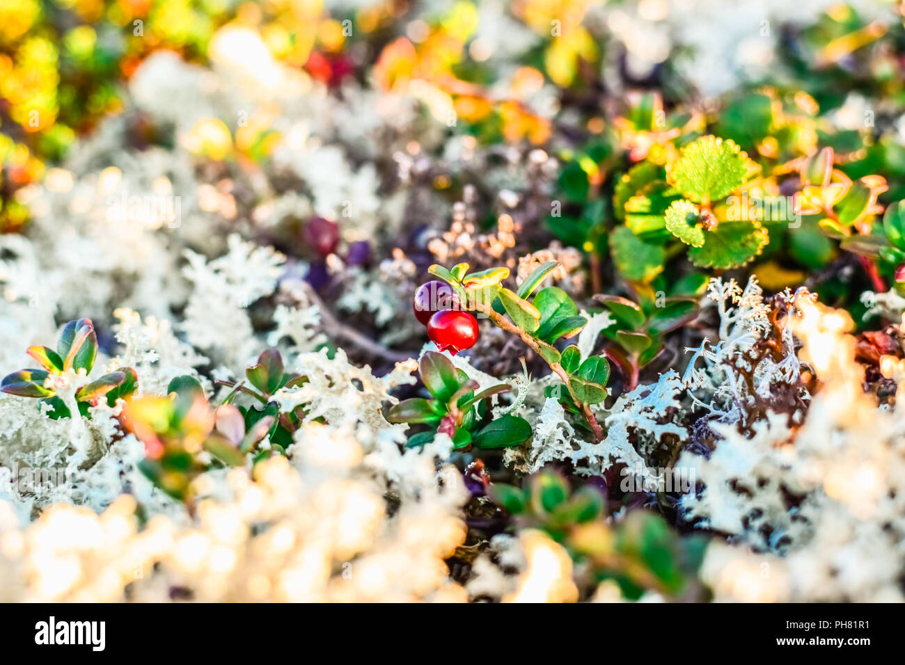 Small red ripe cowberry in a white reindeer lichen Stock Photo