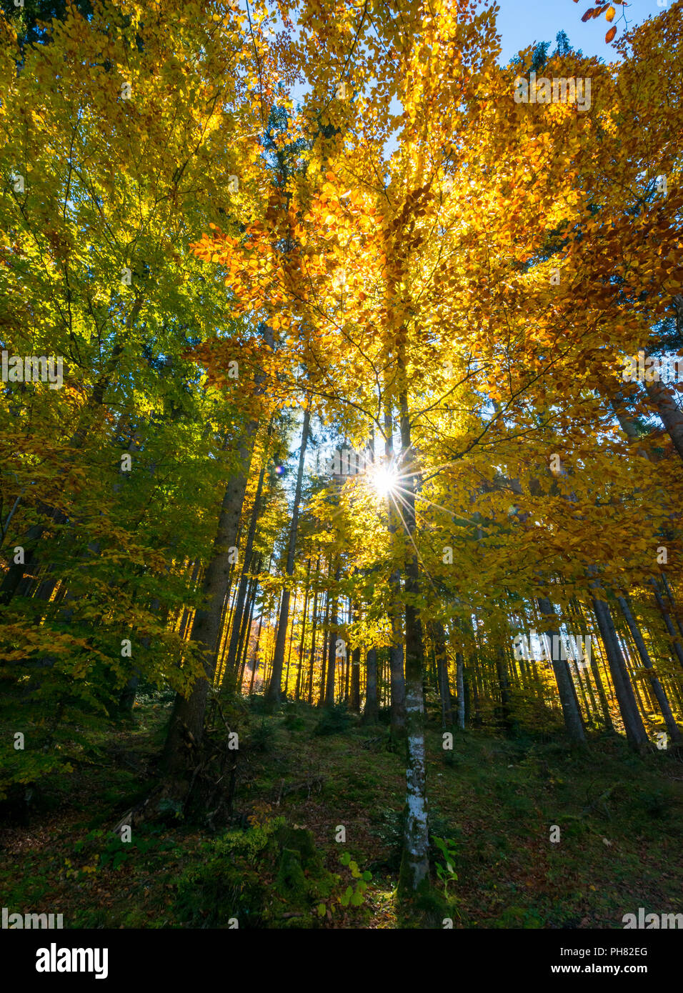 Sun shines through colorfully autumn leaves, forest in autumn, Walchensee, Upper Bavaria, Bavaria, Germany - Stock Image