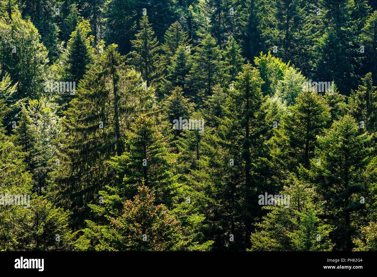 Mixed forest at the treetop walk near Scheidegg, West Allgäu, Allgäu, Swabia, Bavaria, Germany - Stock Image
