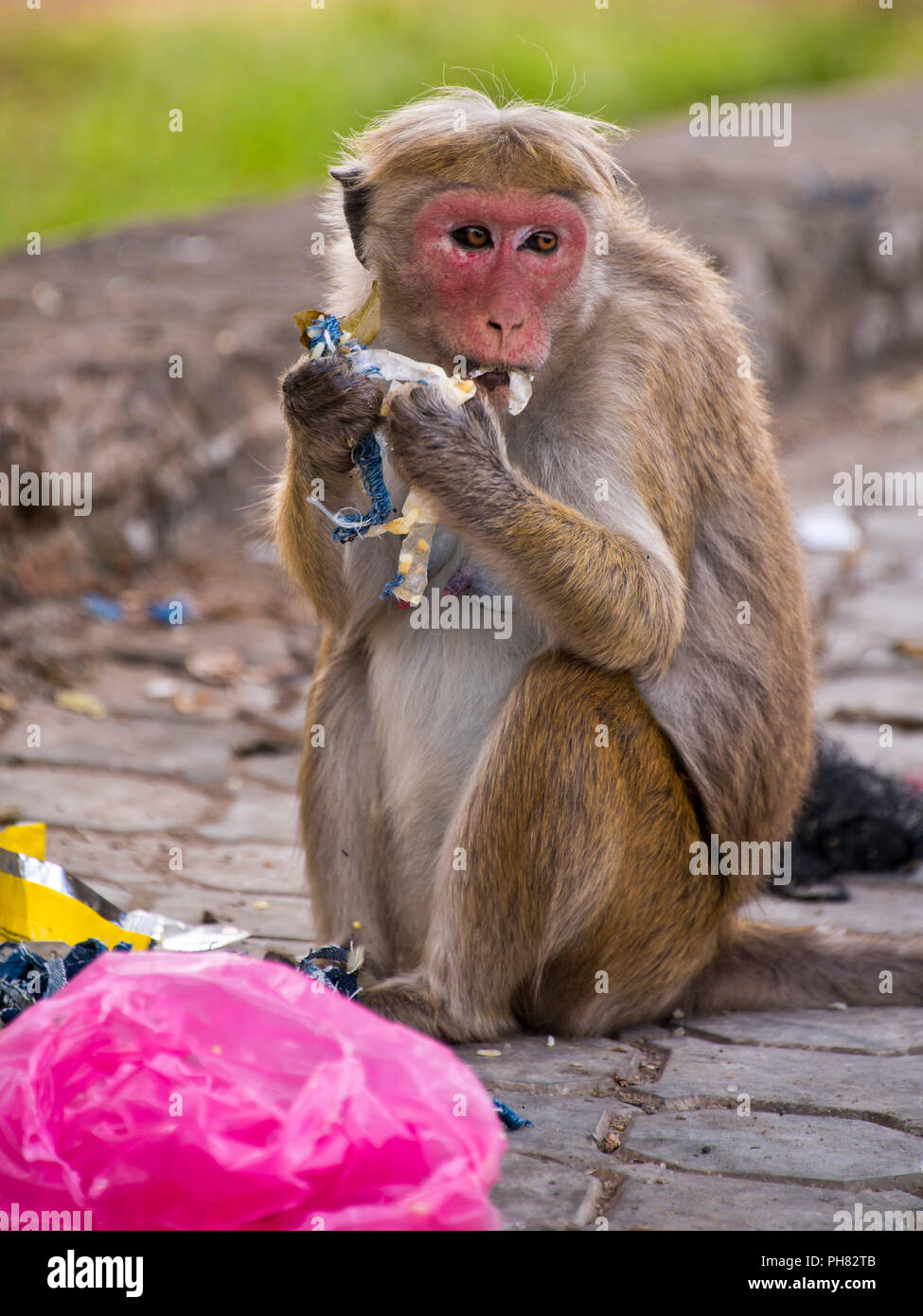 Vertical close up of a monkey scavenging for food at a rubbish bin. - Stock Image