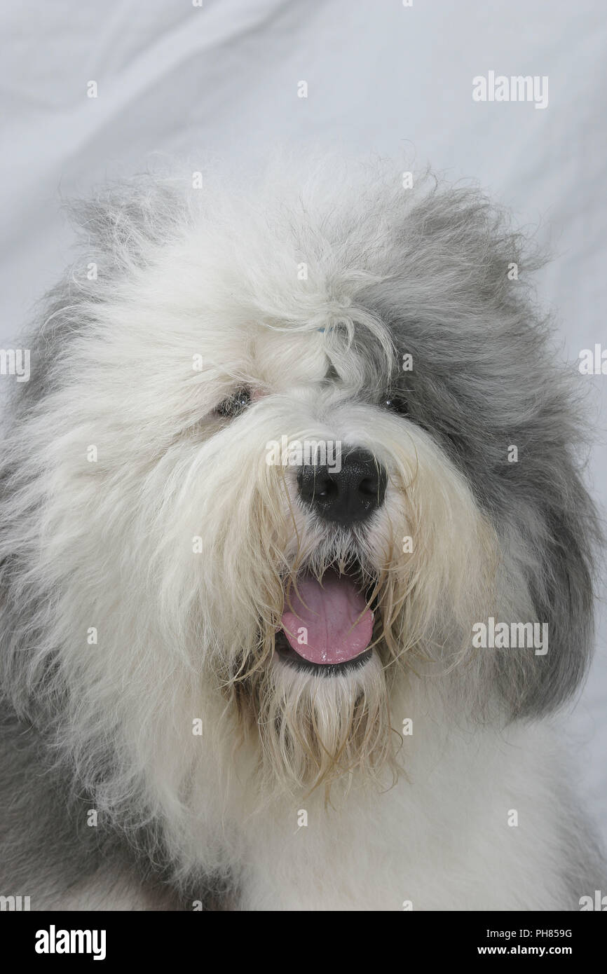 Dragging Dog Stock Photos & Dragging Dog Stock Images - Alamy
