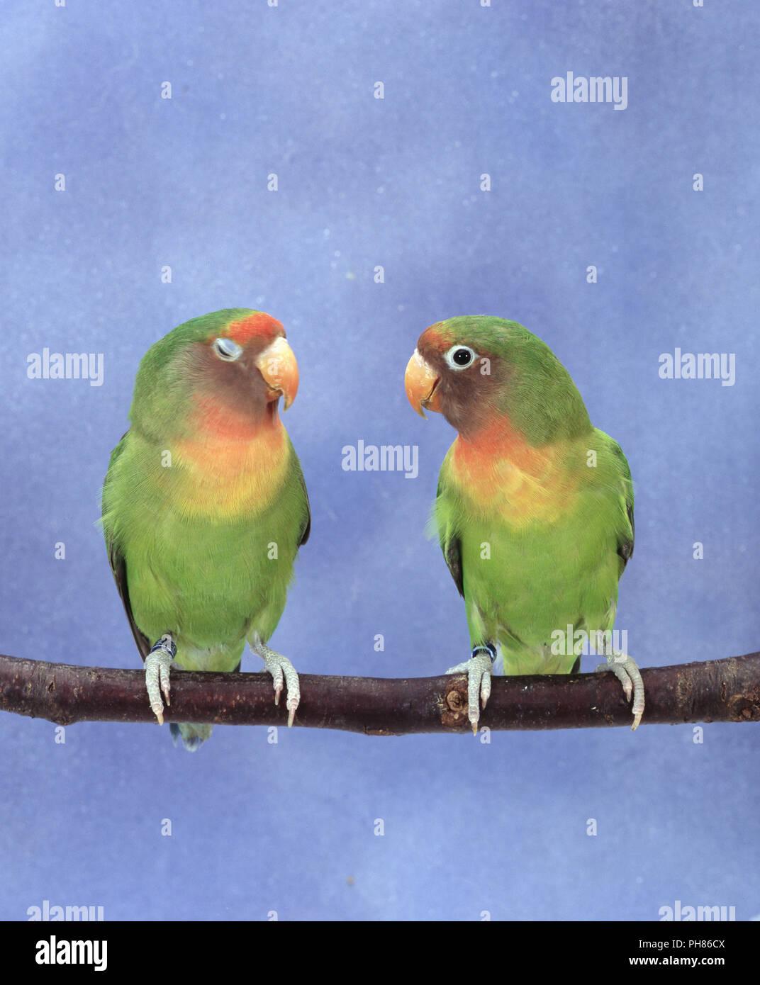 Agaponiden Unzertrennliche Agapornis Lovebirds Inseparable Stock Image
