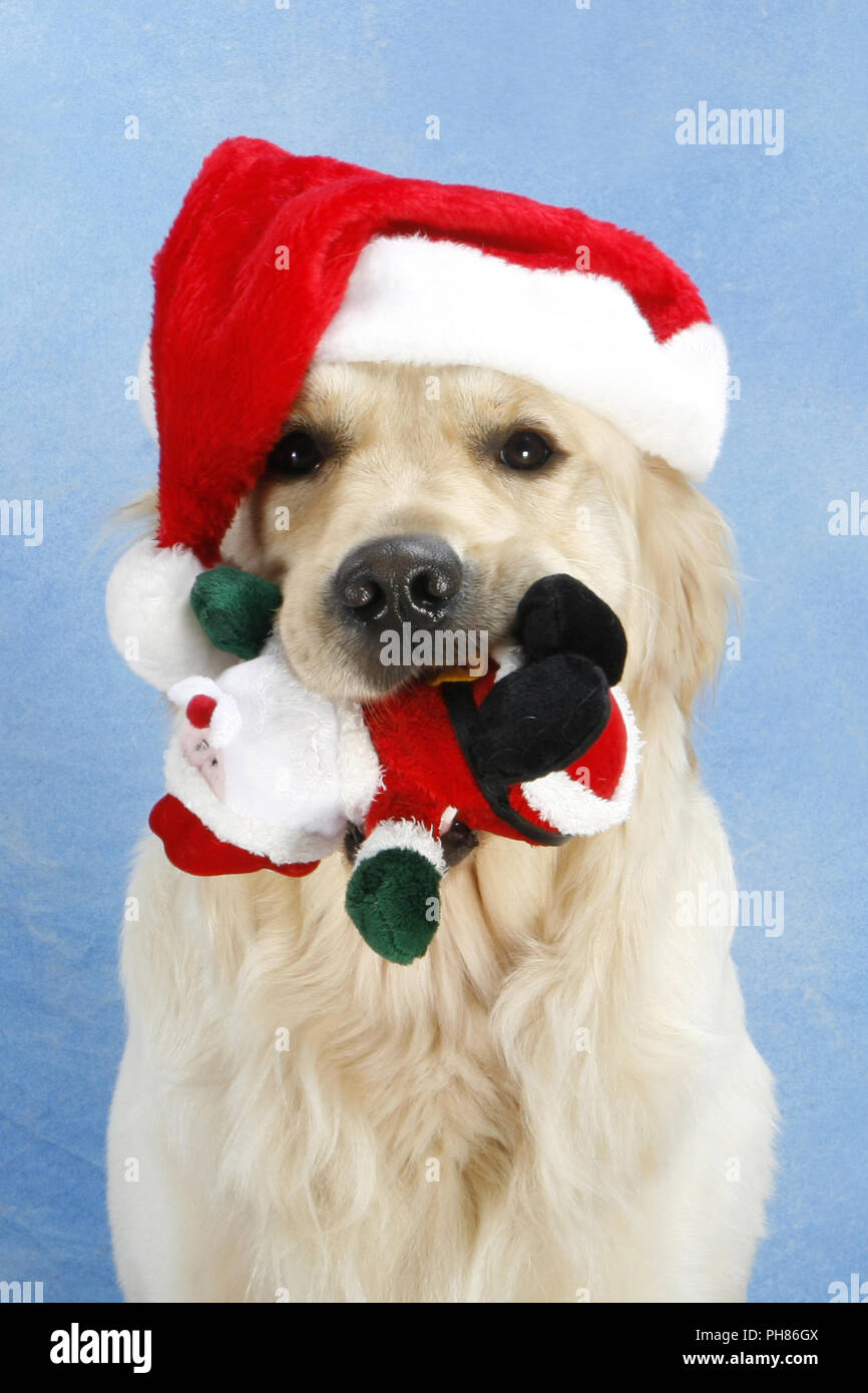 Golden Retriever mit Weihnachtsmuetze, Golden Retriever with X-Mas cap - Stock Image