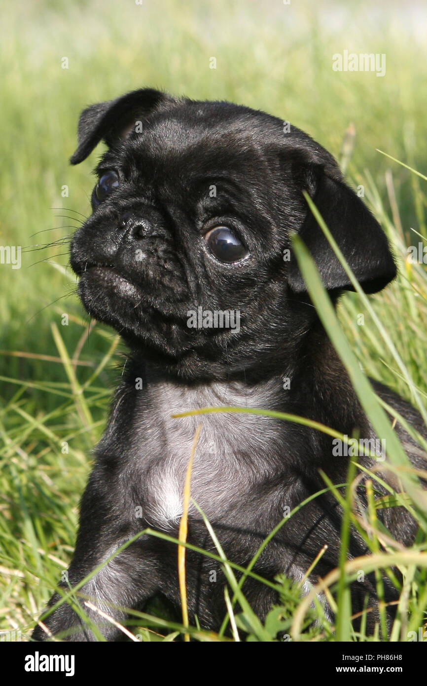Schwarzer Mops, Black Pug, 8 weeks old puppy - Stock Image