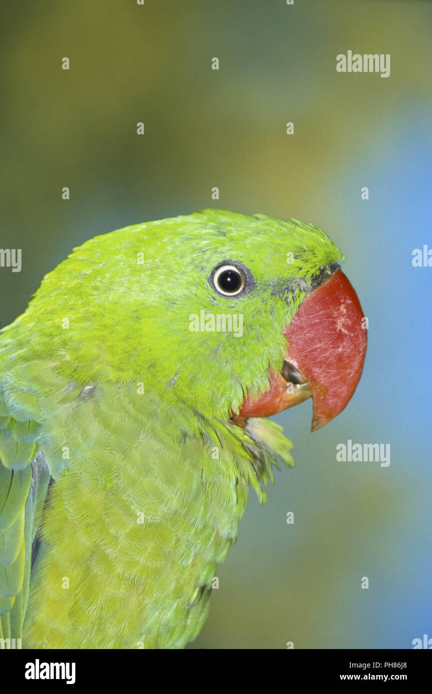 Buru Great-billed Parrot / Buru-Grossschnabelpapagei - Stock Image
