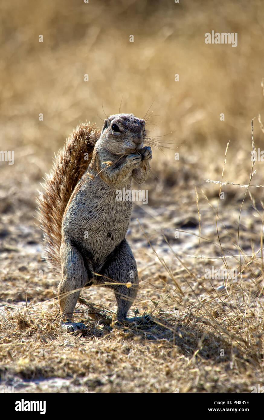 a ground squirrel in etosha national park namibia - Stock Image