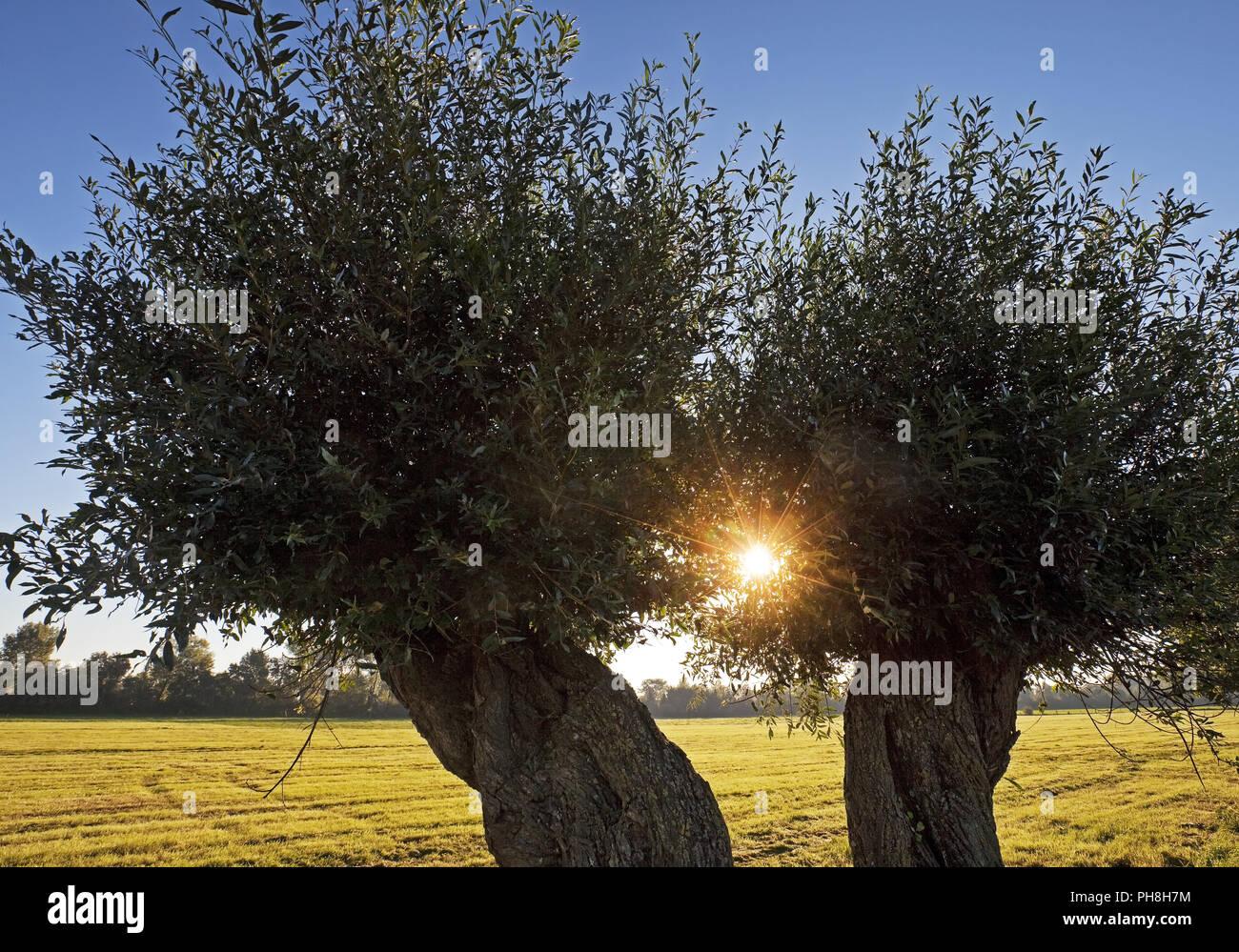 White willow (Salix alba), Lower Rhine, Rees - Stock Image