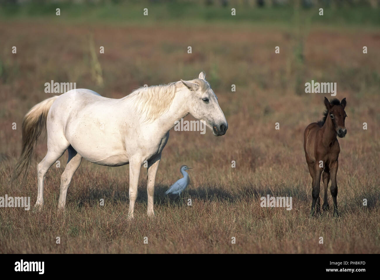 Camargue-Pferd mit Fohlen Camargue horse with foal - Stock Image