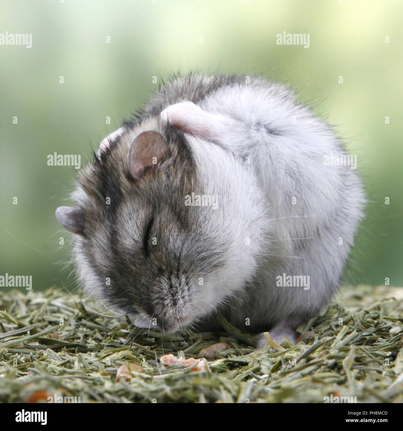 29bcbc01ace Russian Dwarf Hamsters Stock Photos   Russian Dwarf Hamsters Stock ...