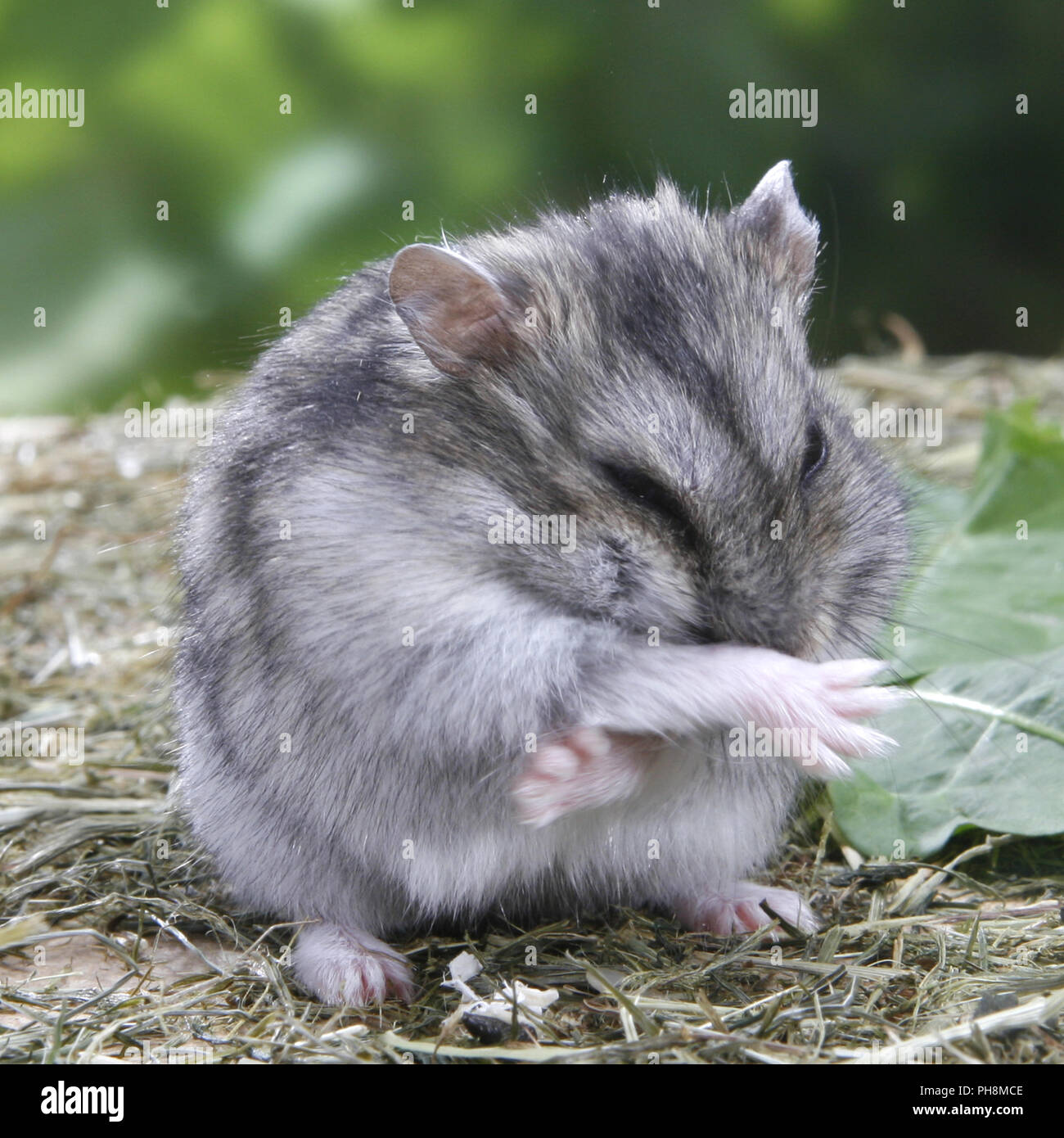 be8399f00a2 Winter White Russian Dwarf Hamster Stock Photos   Winter White ...