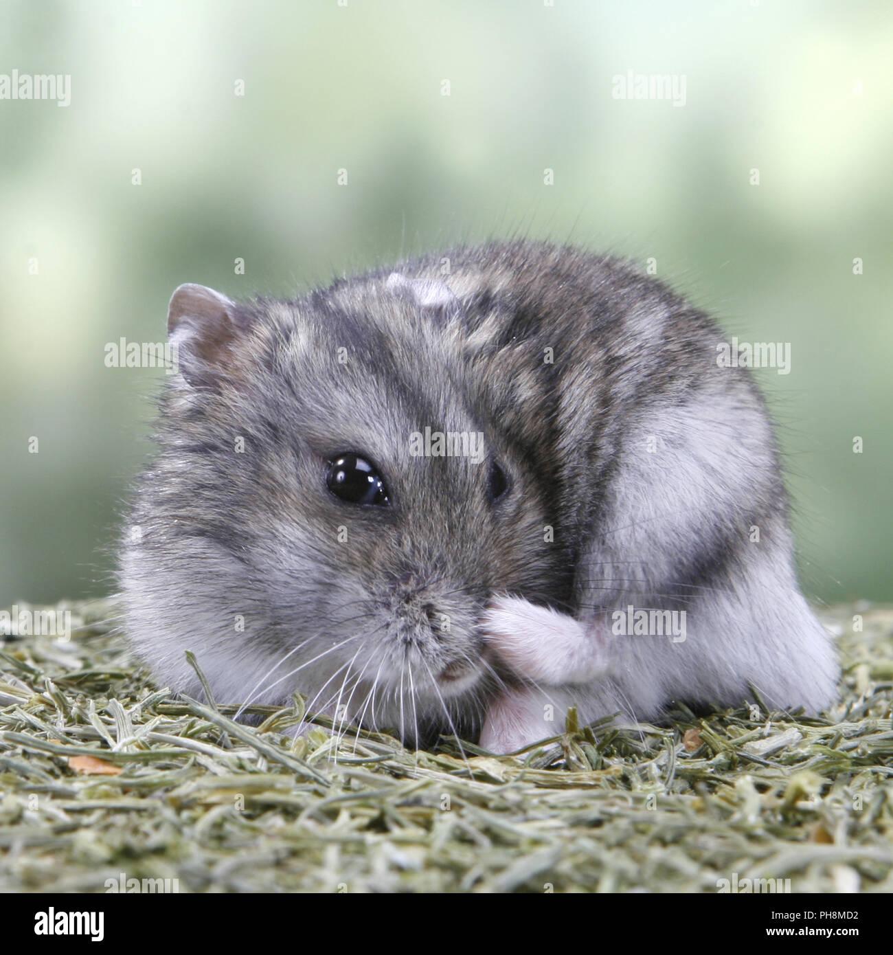 Winter White Russian Dwarf Hamster Stock Photos & Winter