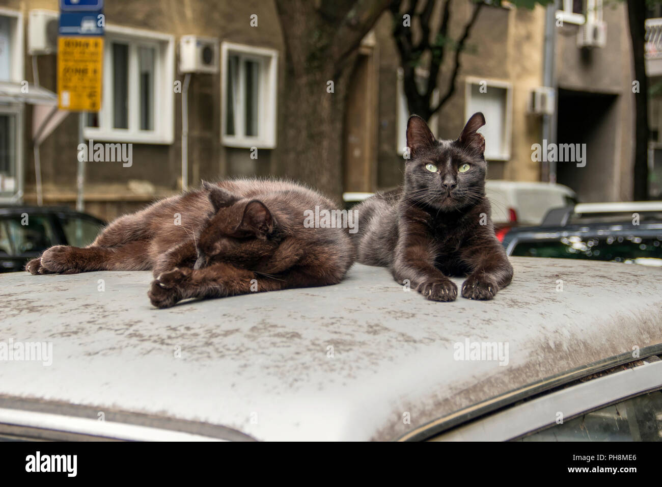 Belgrade, Serbia, August 2018 - Two stray cats resting on the roof of a parked car in the city center in Majke Jevrosime street - Stock Image