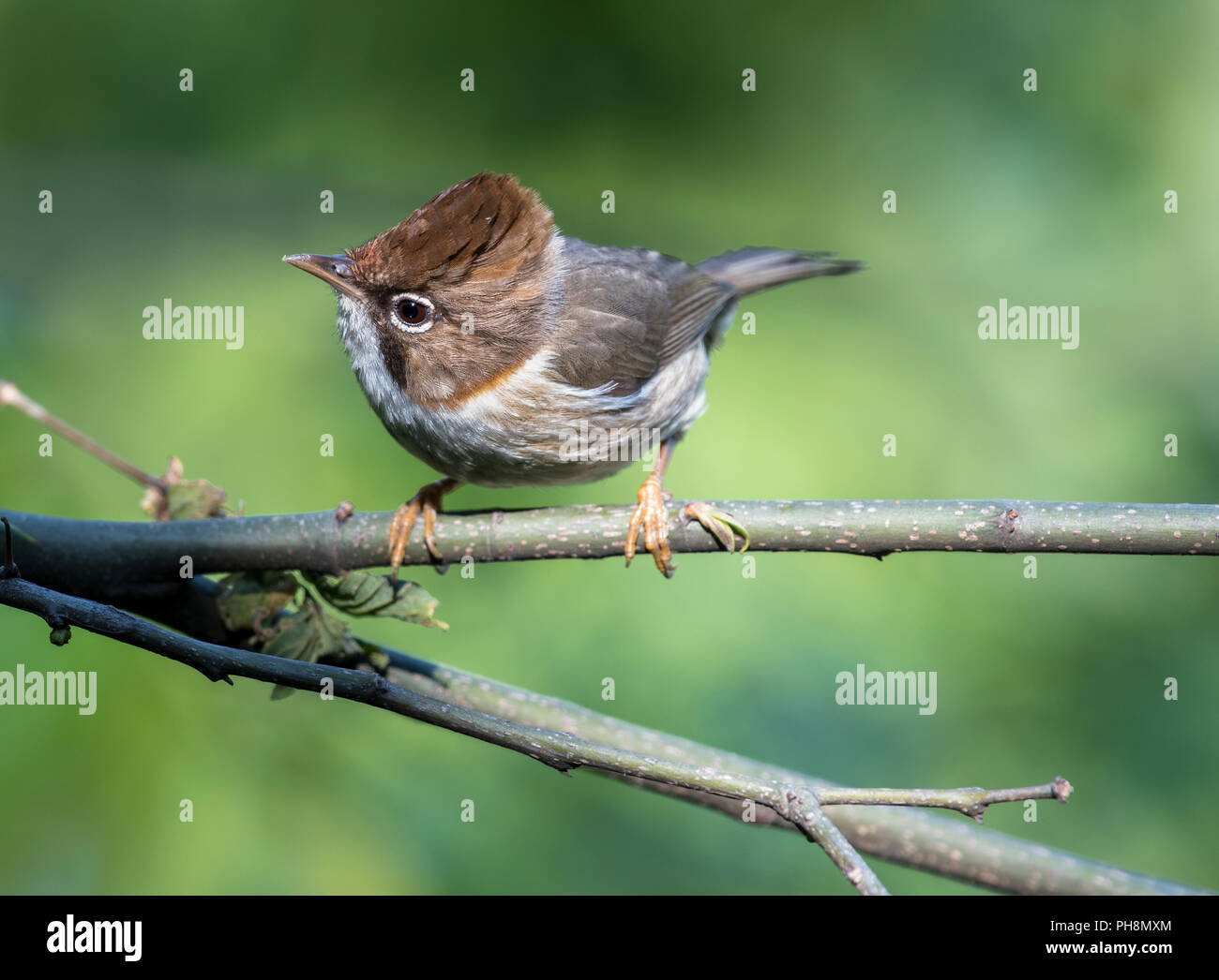 A Whiskered Yuhina, perched on a branch, Himachal Pradesh - Stock Image
