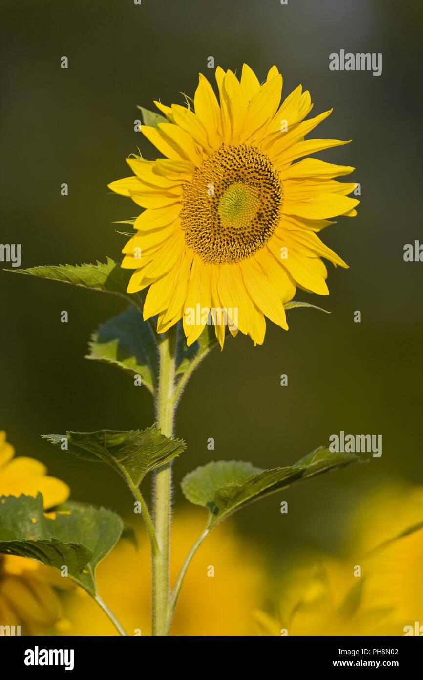 sunflowers, bavaria, germany - Stock Image